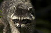 Raccoon Photo Posters - Raccoon 2 Poster by Sharon  Talson