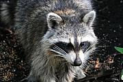 Small Originals - Raccoon by Alan Lenk