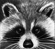 Raccoon Drawings - Raccoon by Alycia Ryan