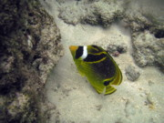 Raccoon Butterflyfish Print by Michael Peychich