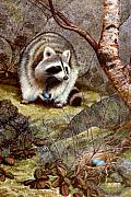 Raccoon Painting Posters - Raccoon Found Treasure  Poster by Frank Wilson