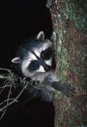Selection Posters - Raccoon In Tree Poster by Natural Selection David Ponton