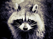 Black And White Animal Posters - Raccoon Looking At Camera Poster by Isabelle Lafrance Photography