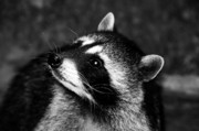 Raccoon Photo Posters - Raccoon looking Poster by David Lee Thompson