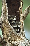 Offspring Framed Prints - Raccoon Procyon Lotor Two Babies Framed Print by Konrad Wothe