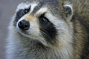 Raccoon Photo Posters - Raccoon Poster by Steve Sturgill