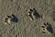 Animal Tracks Framed Prints - Raccoon Tracks On Newly Dredged Mud Framed Print by Tyrone Turner
