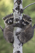 Embracing Framed Prints - Raccoon Two Babies Climbing Tree North Framed Print by Tim Fitzharris