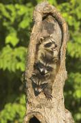 Raccoons Framed Prints - Raccoons In A Tree Framed Print by John Pitcher