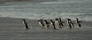 Penguins Photos - Race for the Shore by Mark H Roberts