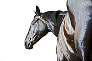 Thoroughbred Gelding Prints - Racehorse  Print by James Callaghan