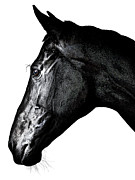 Thoroughbred Gelding Prints - Racehorse4 Print by James Callaghan