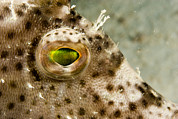 Malapascua Island Photos - Radial Leatherjacket Filefish by Tim Laman