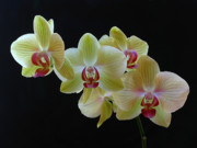 Orchid Artwork Prints - Radiant Orchid Print by Juergen Roth
