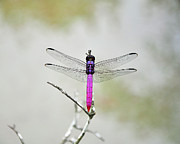 Dragon Fly Photo Prints - Radiant Roseate Print by Al Powell Photography USA