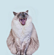 Animal Hair Prints - Ragdoll Cat Yawning Print by May-lin Joe