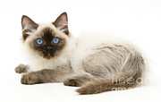 Mark Taylor - Ragdoll Kitten