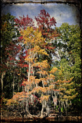 Big Cypress Bayou Photos - Raggedy Bayou by Lana Trussell