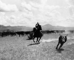 Old West Photo Metal Prints - Raguero cutting out a cow from the herd Metal Print by Raguero cutting out a cow from the herd