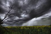 Threatening Prints - Rain And Thunderstorm Over A Canola Print by Dan Jurak