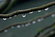 Raindrop Prints - Rain Branch Print by Photography by Gordana Adamovic Mladenovic