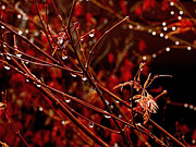 Japanese Maple Prints - Rain Dance Print by Rona Black
