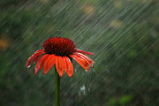Asteraceae Prints - Rain Print by Darren Fisher
