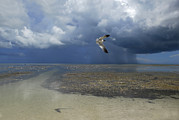 Flying Seagull Framed Prints - Rain Falls From A Huge Cloud Framed Print by Raul Touzon