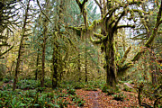 Hoh Photos - Rain forest in fall by Olivier Steiner