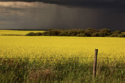 Summer Scene Framed Prints - Rain front approaching Saskatchewan canola crop Framed Print by Mark Duffy