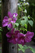 Sun On Flowers - Rain Kissed Clematis  by Lynn-Marie Gildersleeve