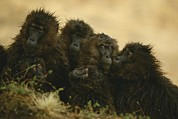Monkeys Prints - Rain-soaked Female Geladas Huddle Print by Michael Nichols