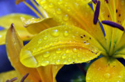 Dew Covered Flower Posters - Rain Spotted Yellow Lily I 2009 Poster by Frank LaFerriere