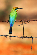 Australian Bee Prints - Rainbow Bee-eater Print by Brian Gunter