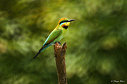Australian Bee Prints - Rainbow Bee-eater Print by Tanya Rossi