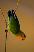 Lovebird Photos - Rainbow Bird by Syed Aqueel