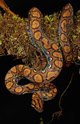 Coiled Prints - Rainbow Boa Epicrates Cenchria Cenchria Print by Pete Oxford