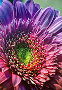 Purple Petals Prints - Rainbow Daisy Print by Bill Tiepelman