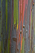Roger Mullenhour - Rainbow Eucalyptus  Abstract
