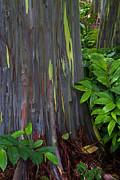 Roger Mullenhour - Rainbow Eucalyptus Forest