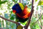 Tropical Bird Art Posters - Rainbow in the trees Poster by David Lee Thompson