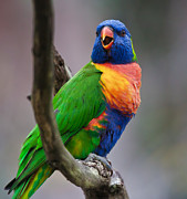 Y120907 Art - Rainbow Lorikeet by © Richard Taylor