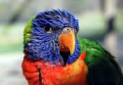 Yellow Beak Photos - Rainbow Lorikeet by Amber Flowers