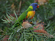 Lorikeet Photos - Rainbow Lorikeet Australia by Bob Christopher