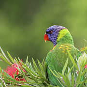 White Flower Photos - Rainbow Lorikeet by Christina Port Photography