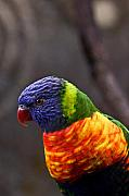 Lorikeet Photos - Rainbow Lorikeet by Douglas Barnett
