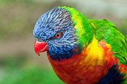 Lorikeet Photos - Rainbow Lorikeet by Eddie Yerkish