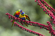 Feeding Birds Posters - Rainbow Lorikeet Feeding Fledgling Poster by Konrad Wothe