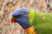 Lorikeet Photos - Rainbow Lorikeet by Mike  Dawson