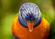 Exotic Bird Prints - Rainbow lorikeet Print by Sheila Smart